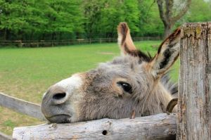Being a donkey